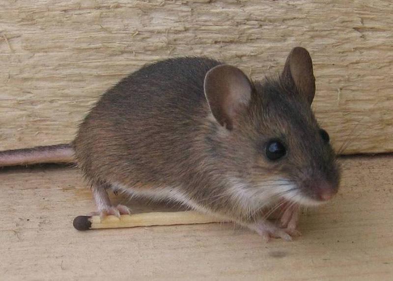 мышь в квартире примета